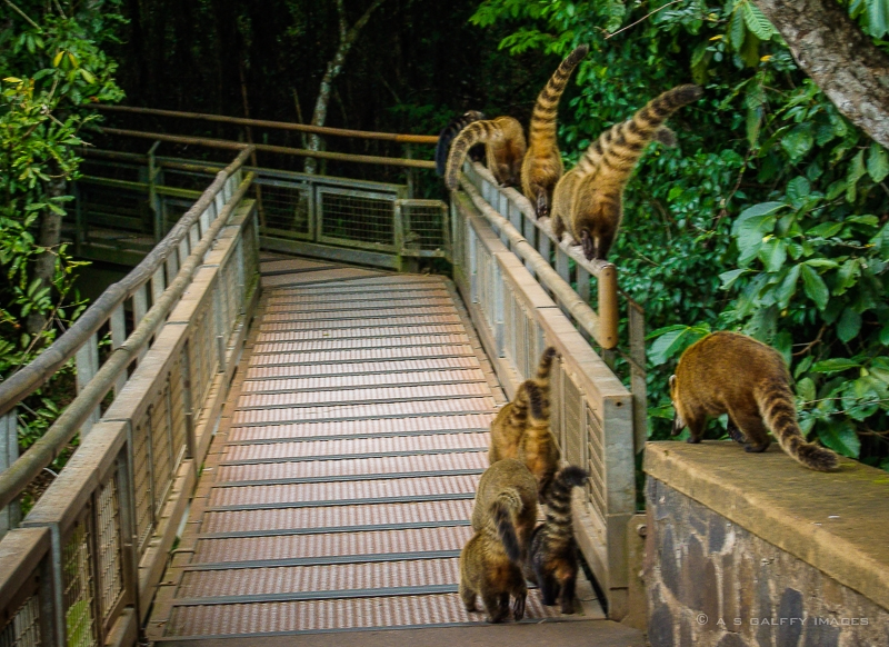 Family of coatis