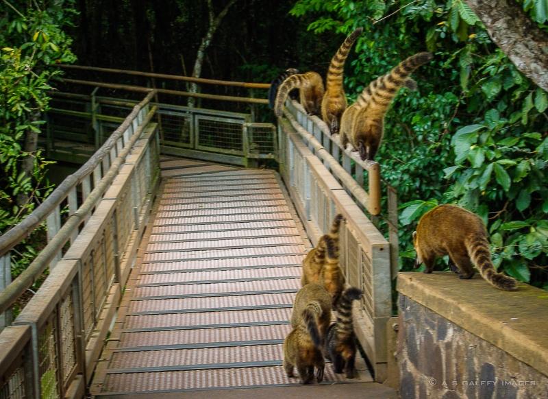 Family of coatis