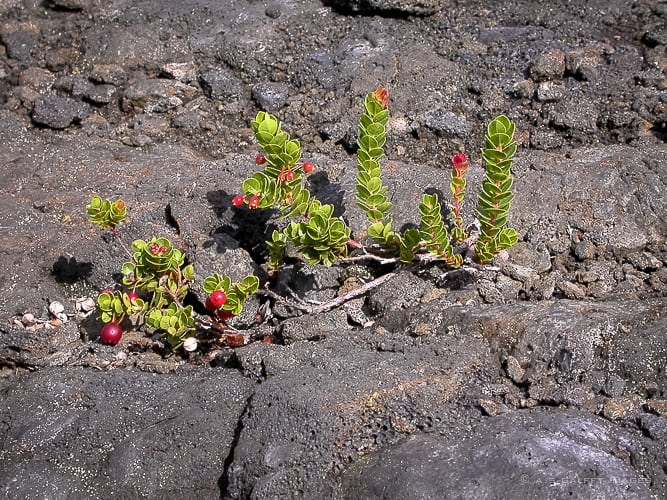 Vegetation growing from lava rock