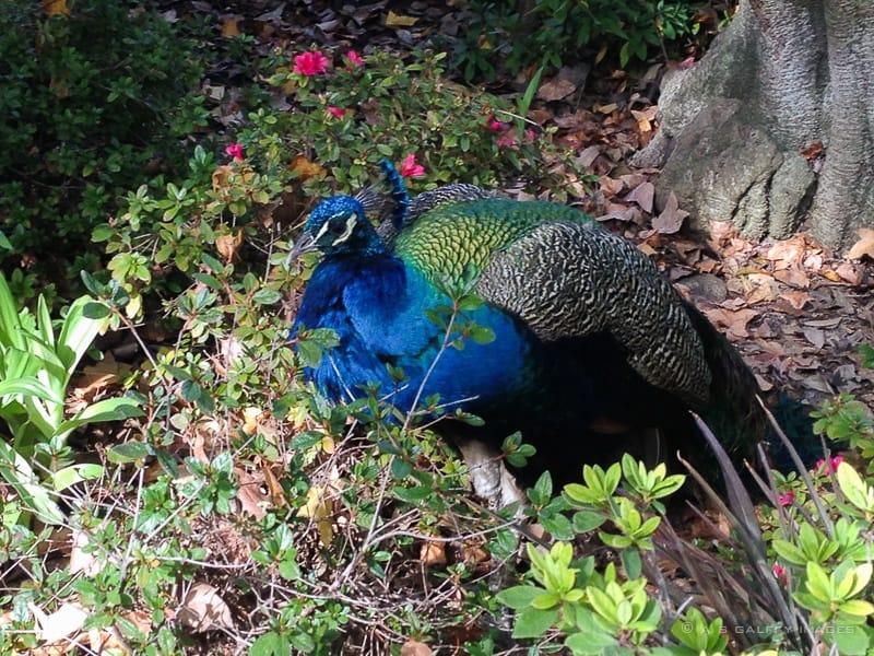 Peacocks at Arboretum