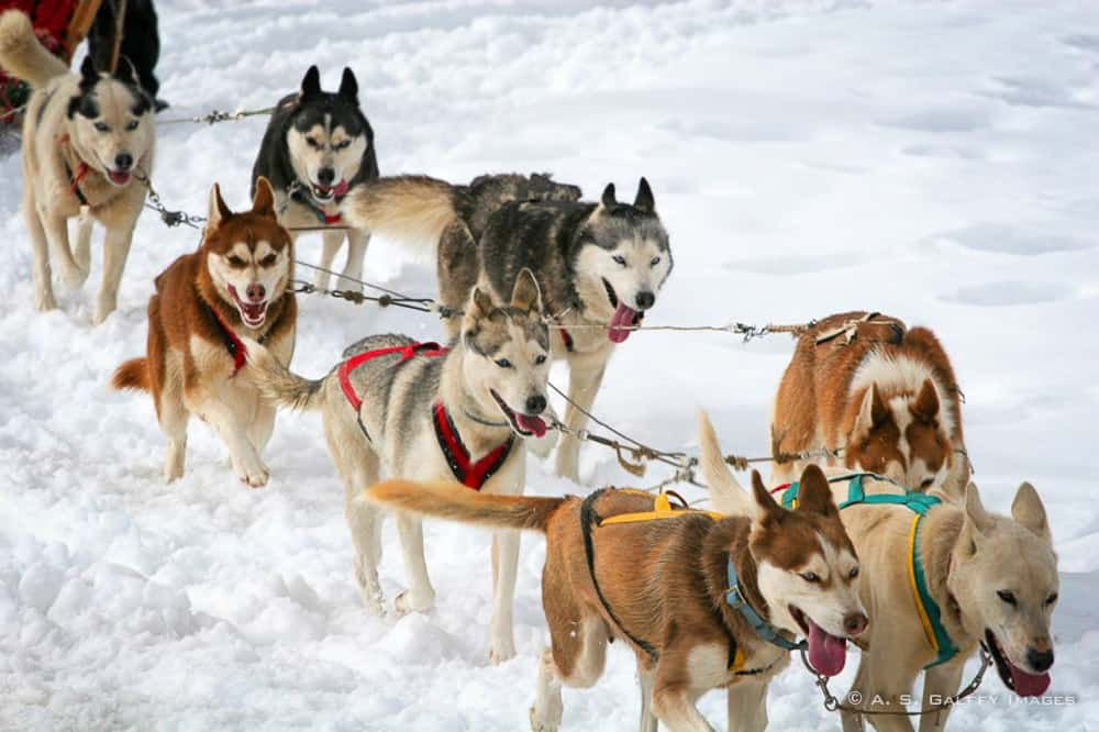 Can Am Dog Sled Race  Results