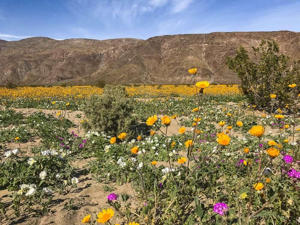 image showing the desert super bloom