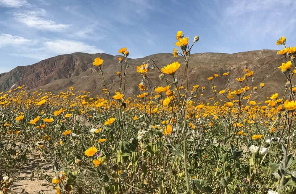 image showing Anza Borrego desert bloom