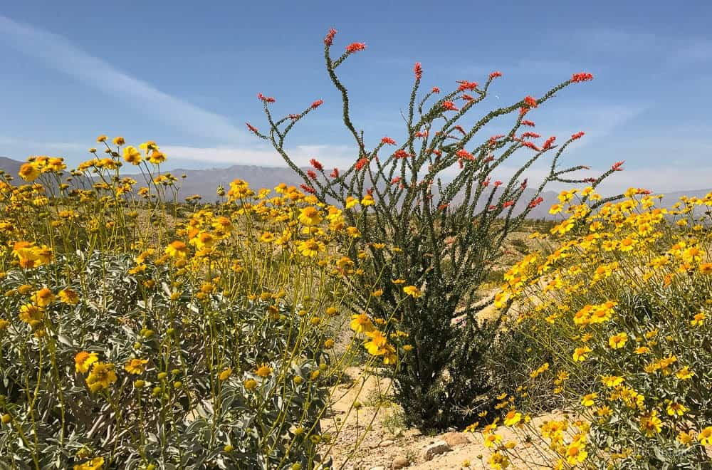 image of the desert super bloom with an ocotillo in bloom