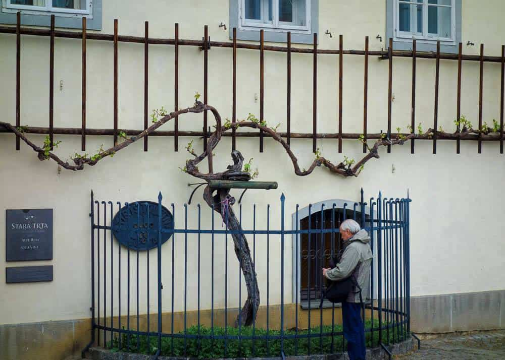 the Old Vine in Maribor growing in front of the Old Vine House