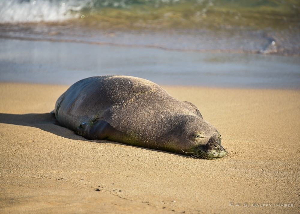Seal monk resting on the beach. Kauai vs Maui: which one is better?