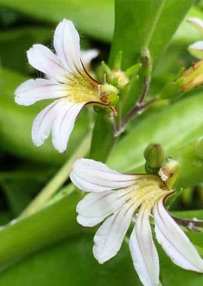 Naupaka flower is tied to Hawaiian legends