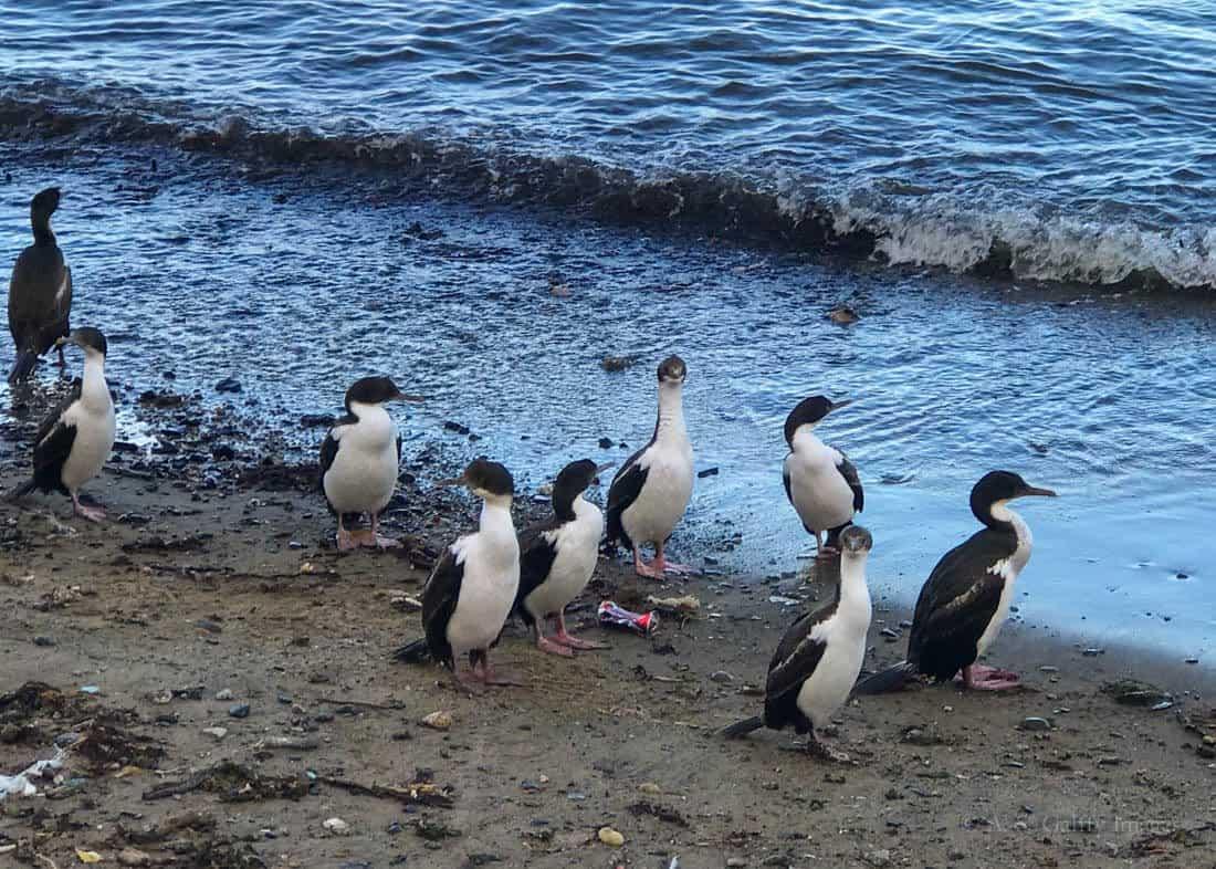Penguins in port area of Punta Arenas