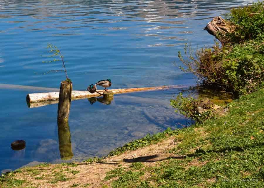 Mallard ducks on Lake Bled