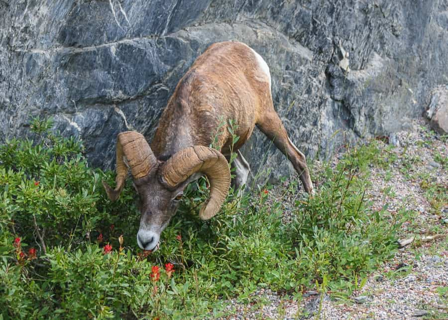 Banff travel guide: wildlife