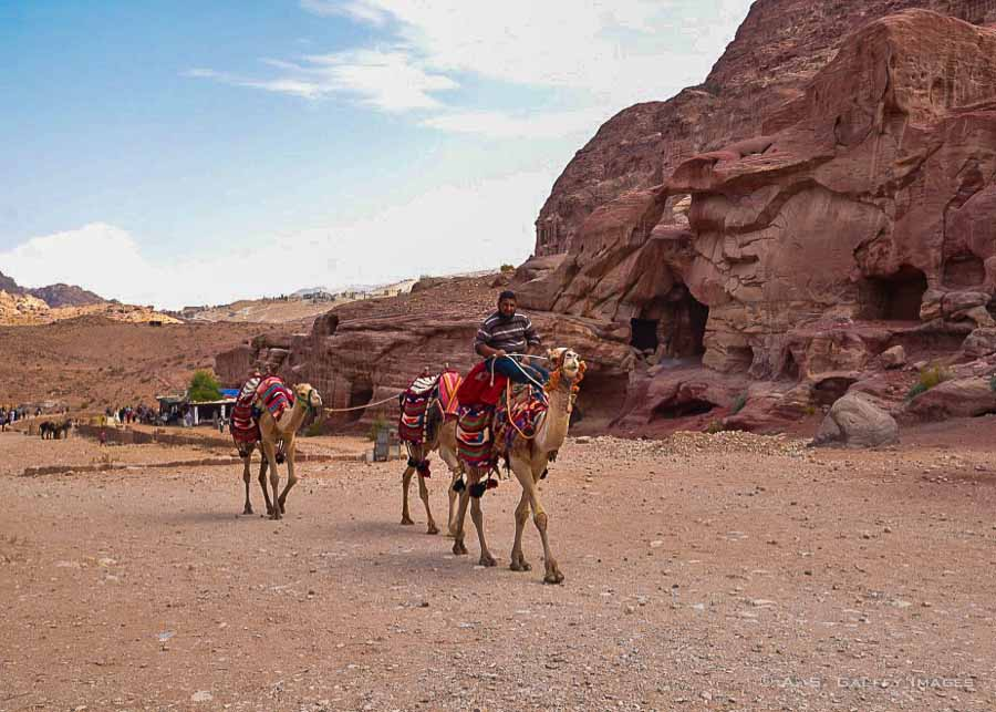 Camels walking in Petra