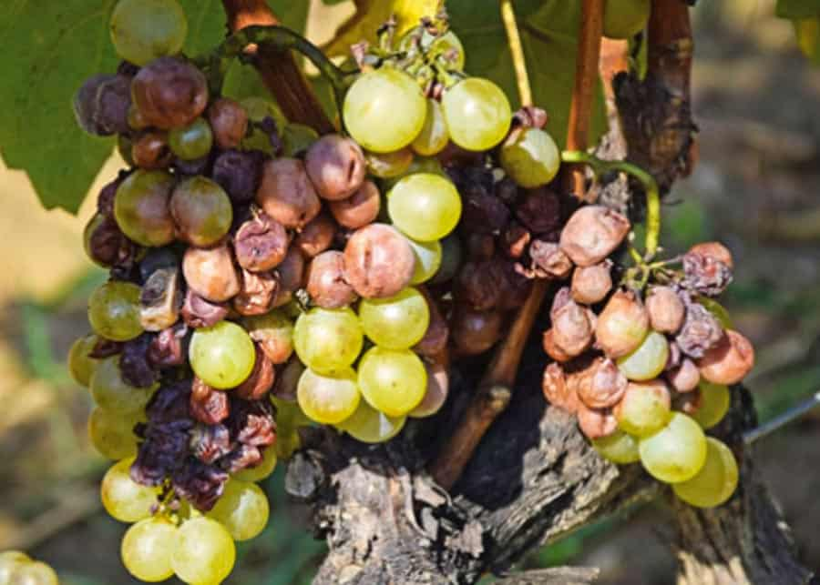 Grapes affected by Botrytis Cinerea