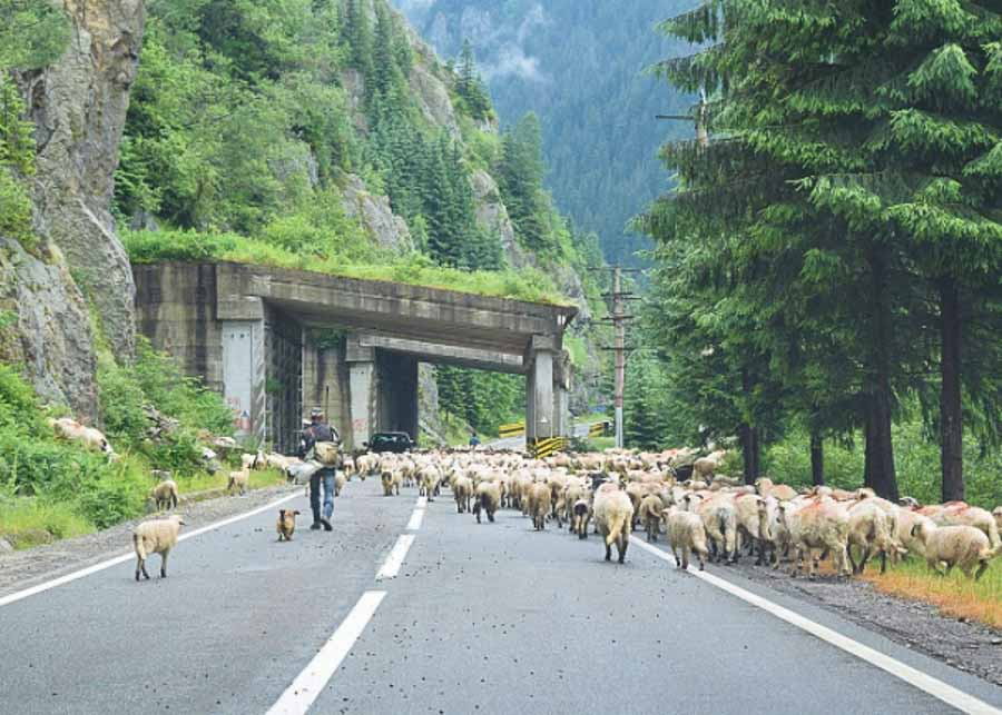 Sheep crossing the highway