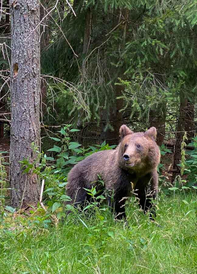 Bear near Arefu Village in Romania