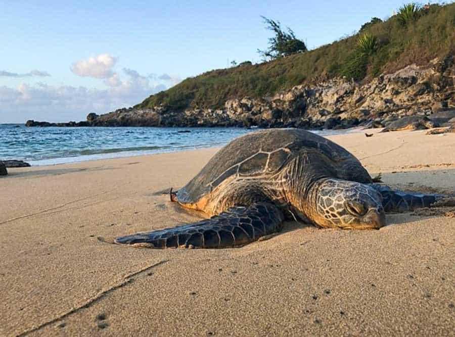 Turtle resting on Hookipa Beach